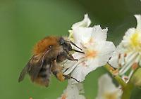 Ackerhummel, Acker-Hummel, Acker - Hummel, Bombus pascuorum, an den Blüten der Rosskastanie, Roßkastanie, Ross - Kastanie, Aesculus hippocastanum, Blütenbestäubung, Nektarsuche, Bombus agrorum, common carder bee
