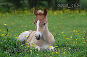 Bob, ANIMALS, REALISTISCHE TIERE, ANIMALES REALISTICOS, horses, photos+++++,GBLA4056,#a#, EVERYDAY