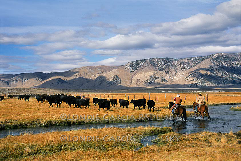 Cowboys herding cows at Long Valley near Mammoth Lakes in the Eastern Sierra, California