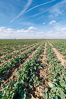 Oil seed rape crop in spring - Lincolnshire, March