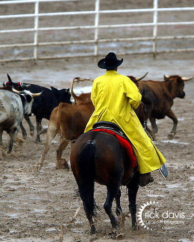 A working cowboy moves corriente steers through the rain and mud at the 2007 Cheyenne Frontier Days Rodeo to a sorting pen where they will be loaded in the chute for Professional Rodeo Cowboy Association team roping contestants.