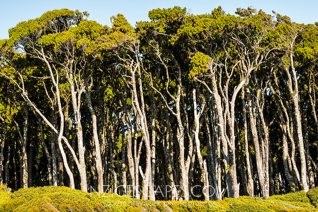Close up of coastal grove of rimu trees near Haast, West Coast, South Westland, UNESCO World Heritage Area, New Zealand, NZ