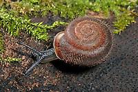 Maskenschnecke, Isognomostoma isognomostomos, Isognomostoma personatum, mask snail