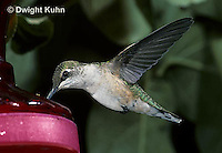 HU11-047x  Ruby-throated Hummingbird - female hovering while drinking sugar water at feeder -  Archilochus colubris