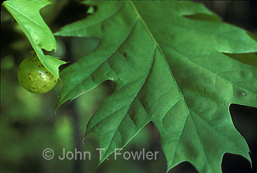 Oak apple wasp gall