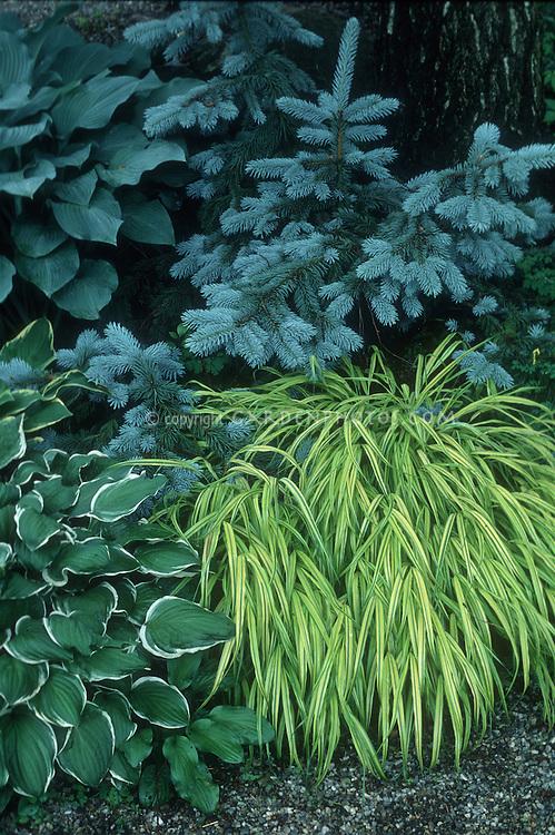 Hosta fortunei 'Francee', Picea pungens & Hakonechloa macra 'Aureola' beautiful garden combination
