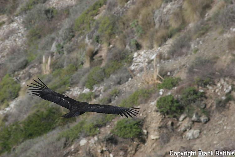 California Condor flying in Big Sur