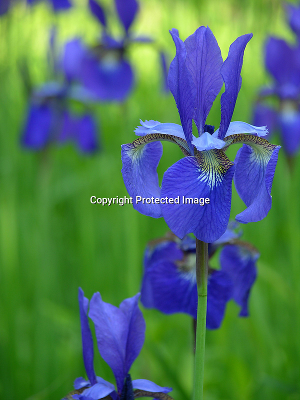 Blue Flag Irises in Spring in New England