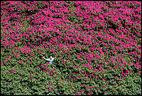 BNPS.co.uk (01202 558833)<br /> Pic:  PhilYeomans/BNPS<br /> <br /> Spot the gardener...<br /> <br /> Shrubzilla - Britain's biggest rhododendron bush has burst into flower early after ideal conditions have produced a stunning display.<br /> <br /> The majestic shrub, that measures 120ft long and 50ft high, is within the gardens of the exclusive South Lodge Hotel in Horsham, West Sussex.<br /> <br /> And head gardener Paul Collins is going to need a bigger set of shears to prune the mountainous shrub that is actually native to the Himalayas.<br /> <br /> The plant is currently covered in hundreds of vibrant purple flowers having benefited from a mild winter that was boosted by a wet February.<br /> <br /> The rhododendron - Rhododendron arboreum Smithii in Latin - was planted more than 120 years ago by Victorian explorer Frederick Du Cane Godman.
