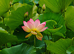 Pink Lotus also known as Nelumbo nuclear.  The Lotus flowers represents purity, spirit, rebirth, beauty, fertility, resurrection and life. These photos were taken at Echo Park in California June 10, 2017.
