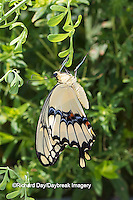 03017-00918 Giant Swallowtail butterfly (Papilio cresphontes) newly emerged, Marion Co., IL