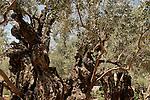 Israel, Jerusalem. Olive trees in the Garden of Gethsemane