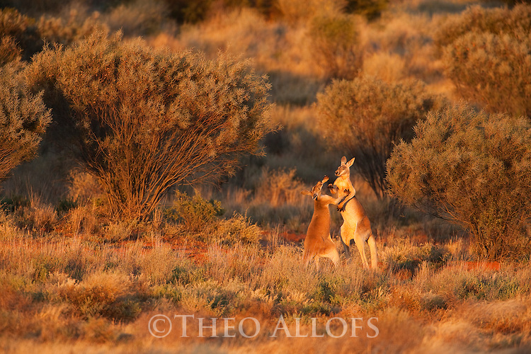 Australia,  NSW, Sturt National Park; red kangaroo subadult males play-fighting (Macropus rufus); the red kangaroo population increased dramatically after the recent rains in the previous 3 years following 8 years of drought