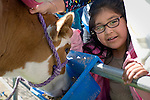 Gladys Cervantes Mejia, 6, of Fremont Elementary School in Carson City, Nev., participates in the cow plop fundraiser, where she was able to meet Buttercup, a Holstein Ayrshire mix.<br />
