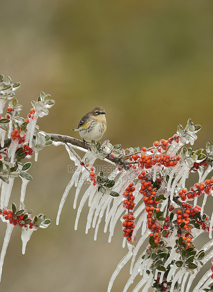 Yellow-rumped Warbler (Dendroica coronata),  adult perched on icy branch of Yaupon Holly (Ilex vomitoria) with berries, Hill Country, Texas, USA