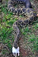 Animais. Reptis. Cobra Cascavel ( Crotalus durissus) engolindo Hamster. Instituto Butantan. SP. Foto de Juca Martins.