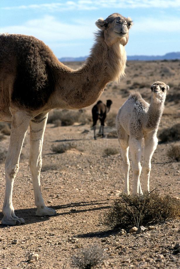 Dromedaris (Camelus dromedarius) met drinkend jong