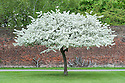Crab apple tree in blossom (Malus sargentii), mid April.