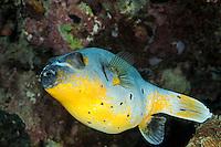 Arothron nigropunctatus, Schwarzflecken-Kugelfisch, Blackspotted Pufferfish, Bali, Indonesien, Indopazifik, Bali, Indonesia Asien, Indo-Pacific Ocean, Asia