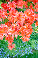Salmon colored azalea. Bishops Close gardens. Portland. Oregon