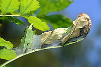 Maivogel, Kleine Maivogel, Raupe, Raupenansammlung, Eschen-Scheckenfalter, Euphydryas maturna, Hypodryas maturna, scarce fritillary, caterpillar, Le Damier du frêne