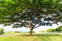 A giant monkeypod tree stands next to the highway in Kilauea, Kaua'i.