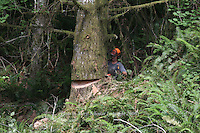 Mel Barnes, a logger for more than 30 years, works in the dense forest of Southwest Washington. He protects himself by wearing Kevlar chaps, a helmet, ear muffs and a mesh screen over his face.