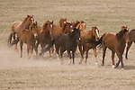 A herd of horses kicks up dust at Mantle Ranch, Three Forks, Montana
