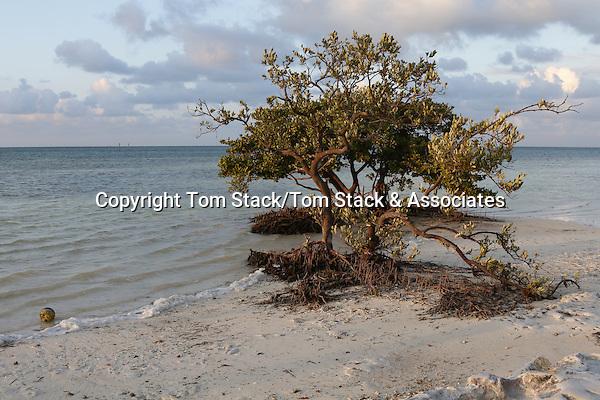Black Mangrove, Avicennia germinans, at low tide revealing pneumatophore roots.