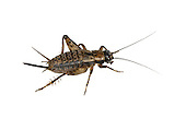 Wood Cricket - Nemobius sylvestris - female