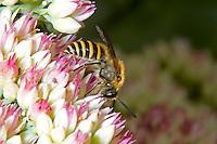 Ivy Bee - Colletes hederae - male feeding on sedum.
