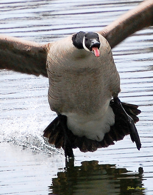 Canadian Goose comes in for a landing. Look out!