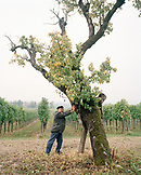 ITALY, Verona, Gargagnago di Valpolicella, senior man standing by tree with vineyard in the background at the La Foresteria Serego Alighieri.