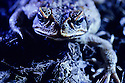 Cane Toad or Giant Toad (Bufo marinus) introduced to Australia. Blue lighting. Townsville, Queensland.