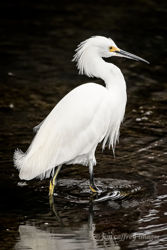 A Snowy Egret wades the shallows in search of a meal at Bolsa Chica Ecological Preserve in Huntington Beach, California.