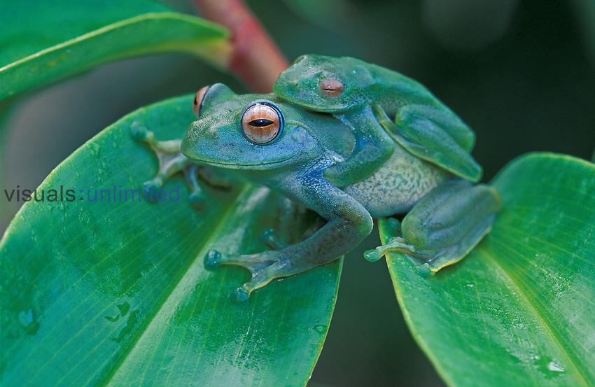 Vohiparara Bright-eyed Frog mating (Boophis elenae), Ranomafana National Park, Madagascar