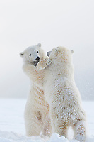 Polar bear cubs play fight on a snow covered island in the Beaufort Sea, arctic, Alaska.