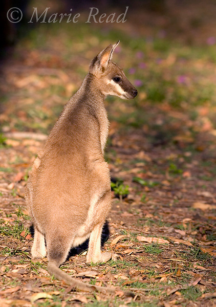 Whiptail Wallaby (Pretty-face Wallaby) (Macropus parryi), female, Carnarvon Gorge National Park, Queensland, Australia