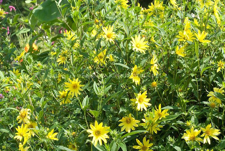 Helianthus Lemon Queen in yellow flowers
