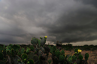 Texas Prickly Pear Cactus (Opuntia engelmanni), storm plant blooming, Laredo, Webb County, South Texas, USA
