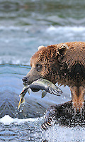 A brown bear carries away a salmon it caught at the McNeil River Falls, in Alaska's McNeil River State Game Sanctuary.