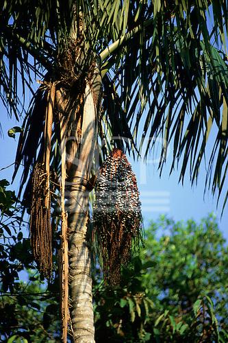 Amazon, Brazil. Acai palm tree (Euterpe oleracea) in the rainforest.