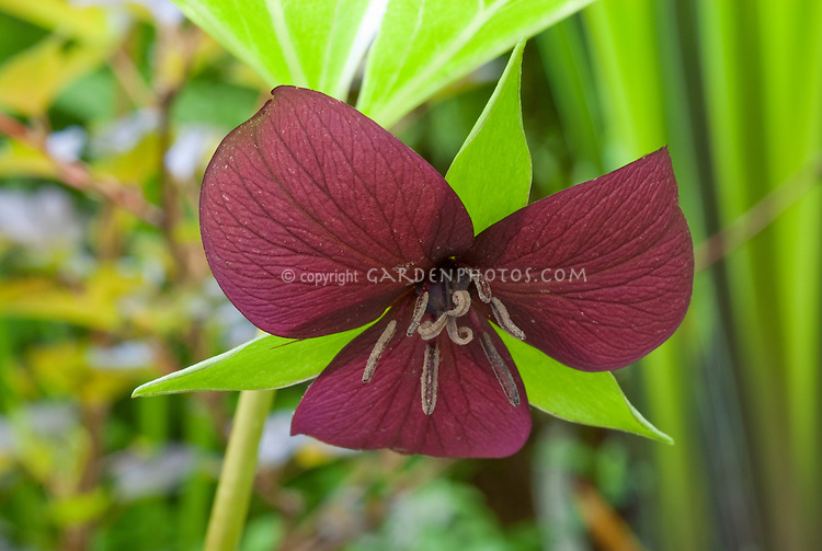 Trillium vaseyi in red and green flowered spring bloom, Red flower closeup