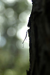 A young preying mantis is silhouetted on the side of a tree.