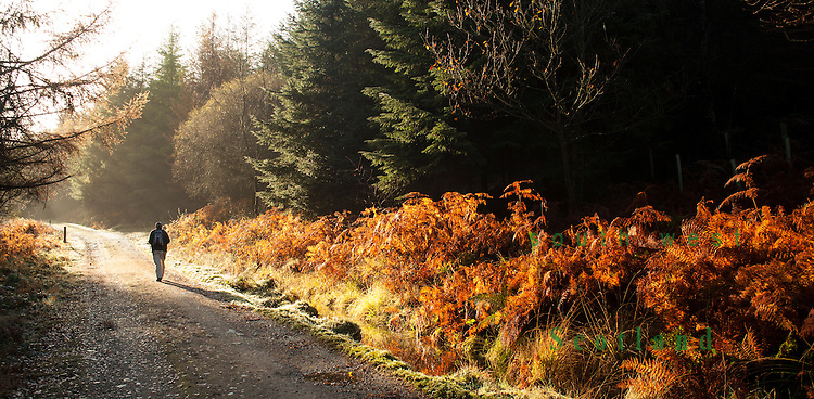 Autumn sunshine, walking through Kissock Forest to the top of Lotus Hill near Loch Arthur, Beeswing