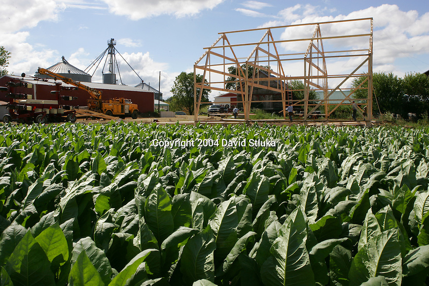 Tobacco Fields on the farm of Jean and Les Mabie in Stoughton, Wisconsin on August 12, 2004. (Photo by David Stluka)