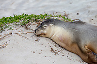 Australian Sea Lion (Neophoca cinerea) resting on a beach at Seal Bay on Kangaroo Island, South Australia, Australia.