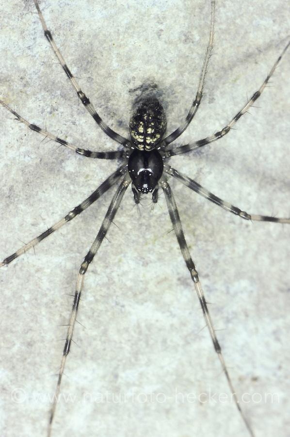 Baldachinspinne, Weibchen, Megalepthyphantes nebulosus, Lepthyphantes nebulosus, female, Baldachinspinnen, Linyphiidae