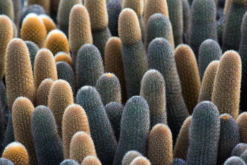 Cactus on Fernandina Island