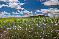 Wildflowers growing beside filelds in the Palouse. The Palouse Is a region of where there are no continuous valleys, and the hills do not connect to make long ridges. These hills were not created by rivers and streams, as is most of our landscape, but formed more like sandunes, with winds depositing silt to form of some of the most fertile soil in the country.